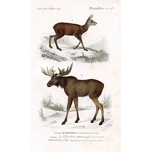 Musk Deer & Reindeer, 1849