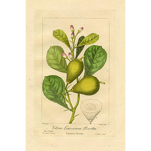 Perette Lemon by Pancrace Bessa, 1836