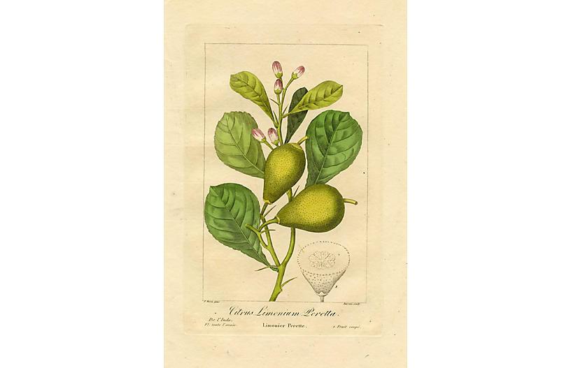Perette Lemon by Pancrace Bessa, 1836