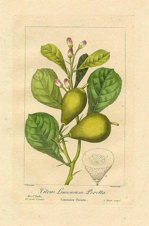 """""""Perette Lemon"""" by Pancrace Bessa, 1836."""