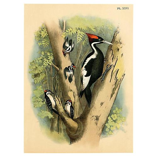 19th-C. North American Woodpeckers