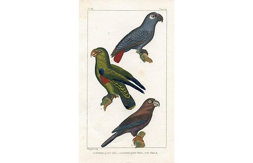 Parrot Engraving, 1831