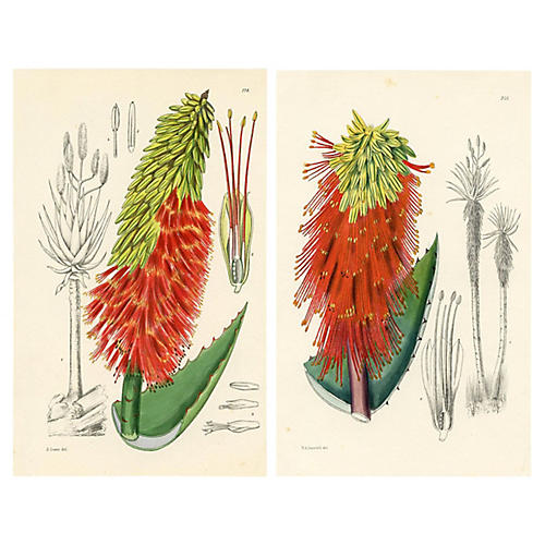 South African Aloe Lithographs, Pair
