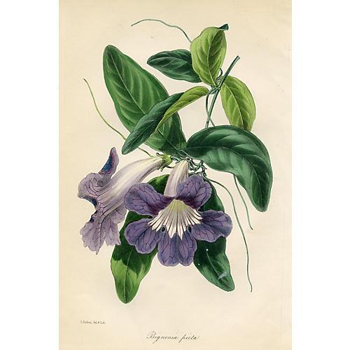 Streaky-Blossomed Trumpet-Flower, 1843