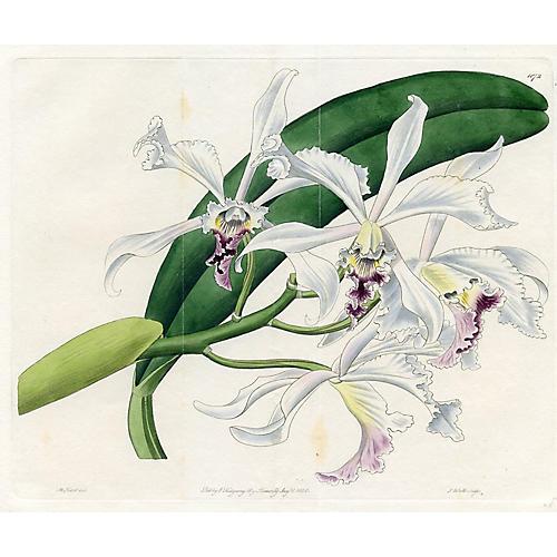 1828 Brasilian Orchid Engraving
