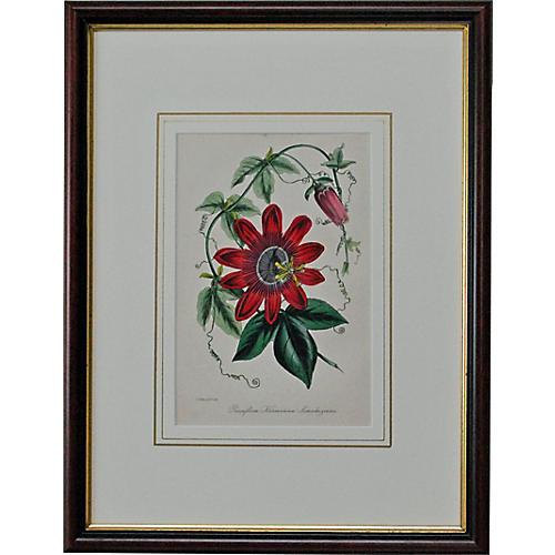 Crimson Passionflower, 1849