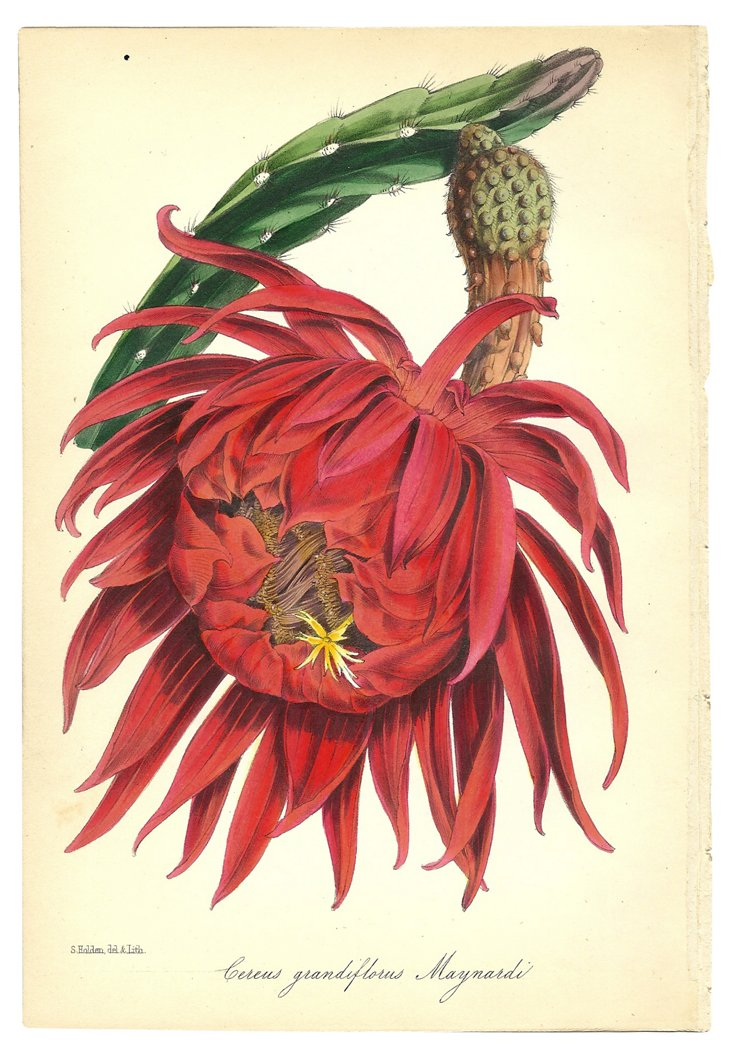 Cereus Grandiflorus Maynardi