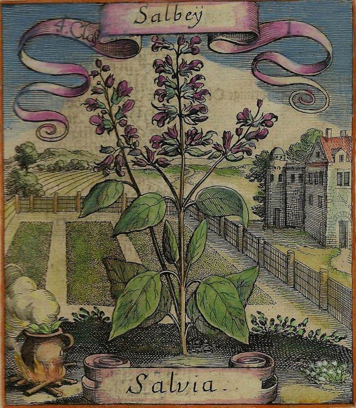Salbey (Salvia) Print [RESUBMIT]