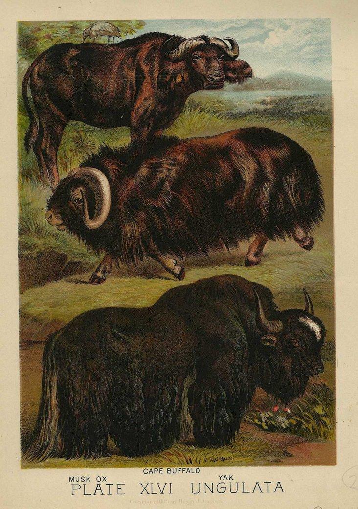 Ox, Buffalo & Yak