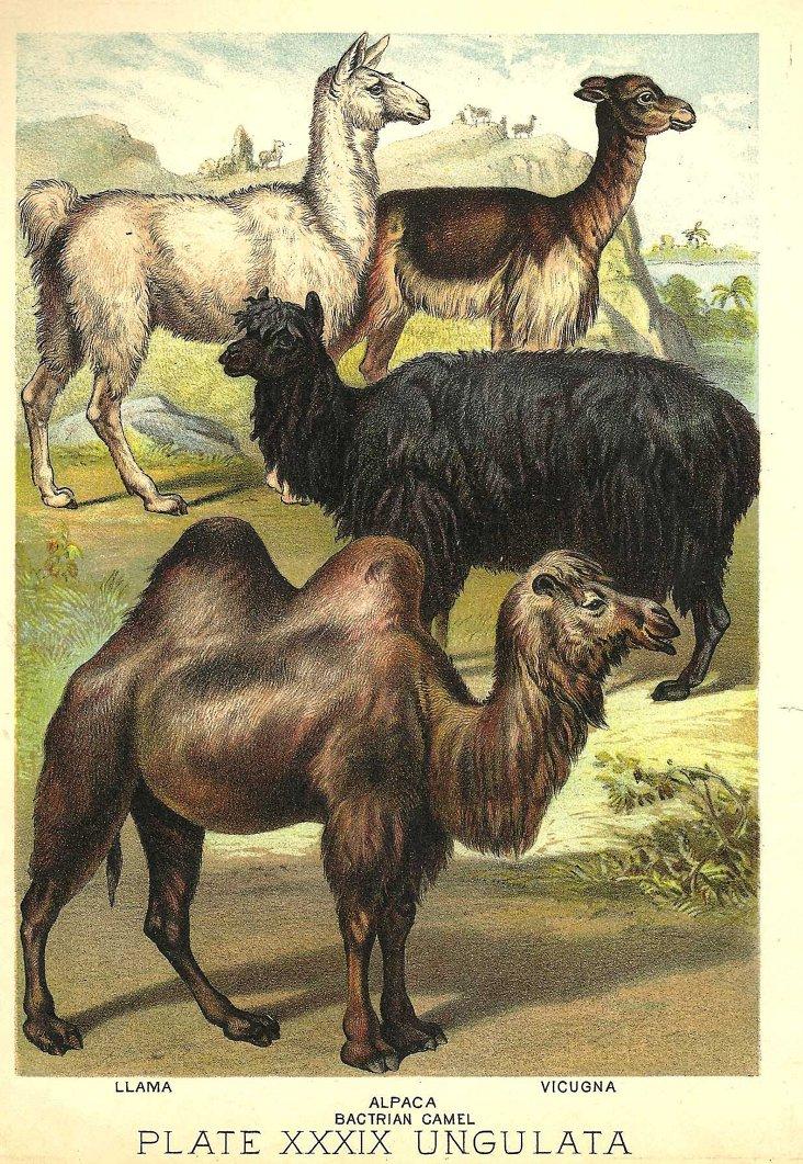 Llamas, Alpacas & More