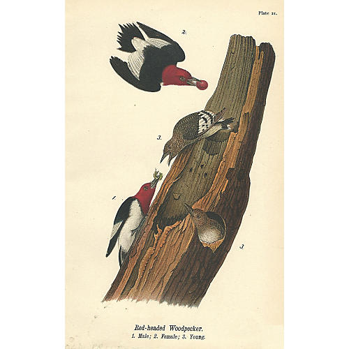 Four Red-Headed Woodpeckers