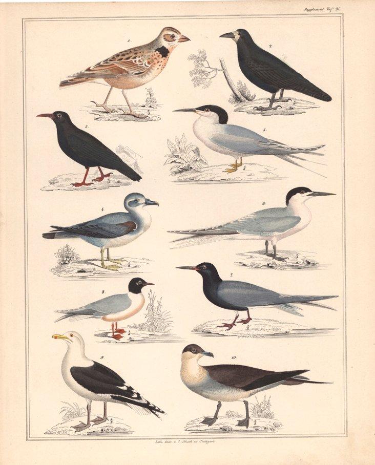Oken's Shore Birds