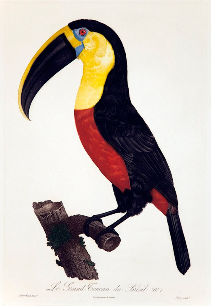 Exotic Toucan with Black Bill