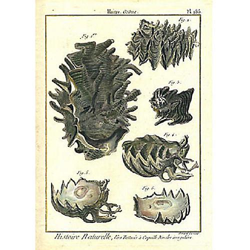 18th-C. Print of Six Unusual Shells