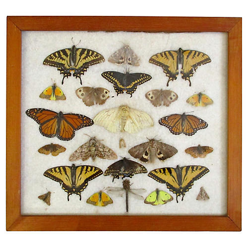 Framed Butterfly Specimens